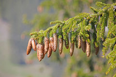 Pine tree and cones Royalty Free Stock Photos