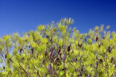 Pine tree with cones on blue sky Royalty Free Stock Image