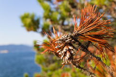 Pine tree cones Royalty Free Stock Images