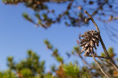 Pine tree cones Stock Photography