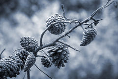 Pine tree cones on the branch Royalty Free Stock Photos