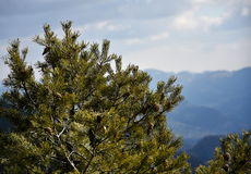 Pine tree. With cones on branches royalty free stock photo