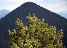 Pine tree. With cones on branches. The cascade hill in the background stock images