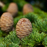 Pine tree and cones closeup Royalty Free Stock Image