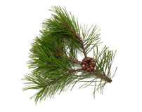 Pine tree and cones Stock Images