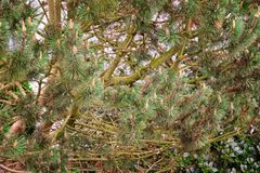 Pine tree with cones. Closeup Royalty Free Stock Images