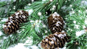 Pine tree with cones and snow. Fall stock footage