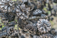 Pine tree cones after wildfire Royalty Free Stock Images