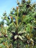 Pine tree conker royalty free stock photo