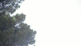 Pine tree with copy space Royalty Free Stock Images