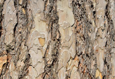 Pine tree cork Royalty Free Stock Image