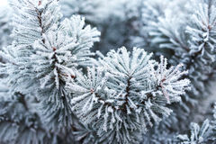 Pine tree covered with frost. Close up of pine tree covered with frost Royalty Free Stock Photography