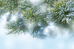 Pine tree covered with frost Stock Images