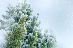 Pine tree covered with frost Royalty Free Stock Image