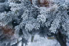 Pine tree covered with hoar frost close-up Royalty Free Stock Photo