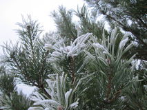 Pine tree covered with hoarfrost. Winter background from pine tree covered with hoarfrost, frost or rime in a snowy forest, lovely landscape of nature Stock Photography