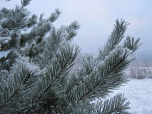 Pine tree covered with hoarfrost. Winter background from pine tree covered with hoarfrost, frost or rime in a snowy forest, lovely landscape of nature Stock Images