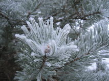 Pine tree covered with hoarfrost. Winter background from pine tree covered with hoarfrost, frost or rime in a snowy forest, lovely landscape of nature Royalty Free Stock Images
