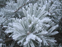 Pine tree covered with hoarfrost. Winter background from pine tree covered with hoarfrost, frost or rime in a snowy forest, lovely landscape of nature Royalty Free Stock Image