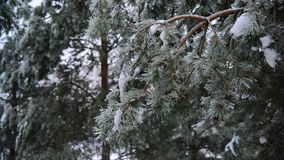 Pine tree covered with ice crust in forest after the rain stock video