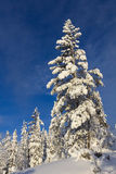 Pine tree covered with snow Royalty Free Stock Photography