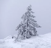Pine tree Royalty Free Stock Photos