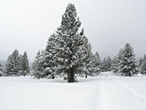 Pine tree covered with snow. Perfect Christmas tree scene from California Stock Photography
