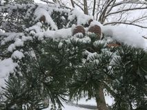 Pine tree covered in snow royalty free stock photos