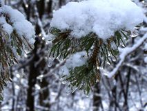 Pine tree covered with snow and ice. Close-up of a pine tree covered with snow and ice Royalty Free Stock Images