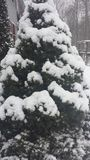 Pine Tree covered in snow Stock Image