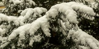 Pine tree covered with snow. Pine tree branches covered with the white snow Royalty Free Stock Image