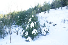 A pine tree covered by snow. A pine tree covered by snow on the slopes of Patnitop in peak winters Royalty Free Stock Image
