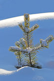 Pine tree covered with snow Royalty Free Stock Image