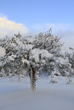 Pine tree covered with snow. After snowstorm Stock Images