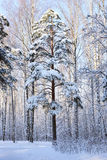 Pine tree covered with snow Royalty Free Stock Photo