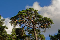 Pine tree crest. In a LAtvian forest against blue sky with puffy clouds, view from below Royalty Free Stock Photography