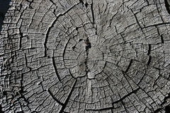 Pine Tree cross section Stock Image