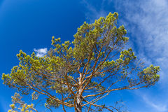 Pine Tree Crown With Blue Sky In The Background royalty free stock images