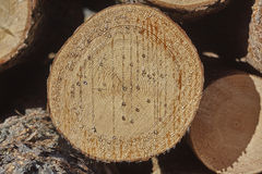 Pine tree cut with pitch close up. Royalty Free Stock Image