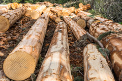 Pine tree cut texture in Turkey Stock Photos
