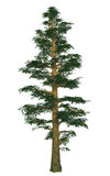 Pine tree Royalty Free Stock Photo