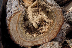 Pine Tree Destroyed by Termites Stock Image