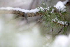 Pine tree detail. Close-up of snow over a pine tree branch Stock Images