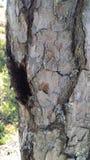 Pine tree, detail, bark. Royalty Free Stock Photo
