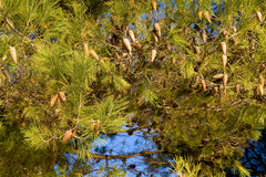 Pine tree detail Stock Image