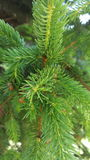 Pine tree detail. Detail of a branch pine tree christmas tree stock images