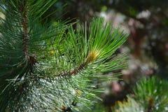 Pine Tree Detail Stock Photo