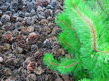 Pine tree detail and cones Stock Images
