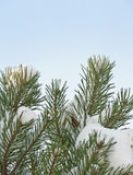 Pine tree in detail covered with snow Royalty Free Stock Photo