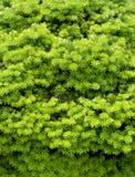 Pine tree detail Stock Image